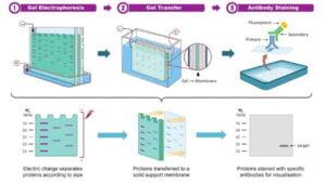 DNA Fingerprinting or Genetic Fingerprinting, Principle, Procedure