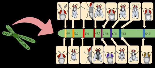 Drosophila Gene Linkage Map, Linkage biology