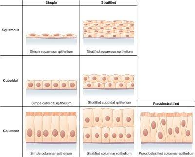 Epithelial tissue- Types of epithelial tissue