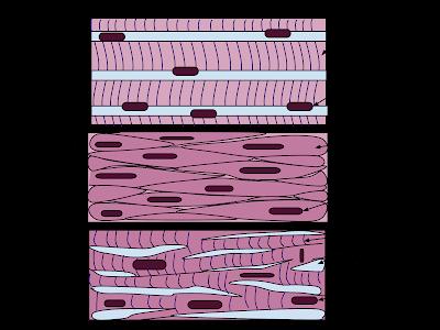 Muscular tissue- Types of muscular tissue