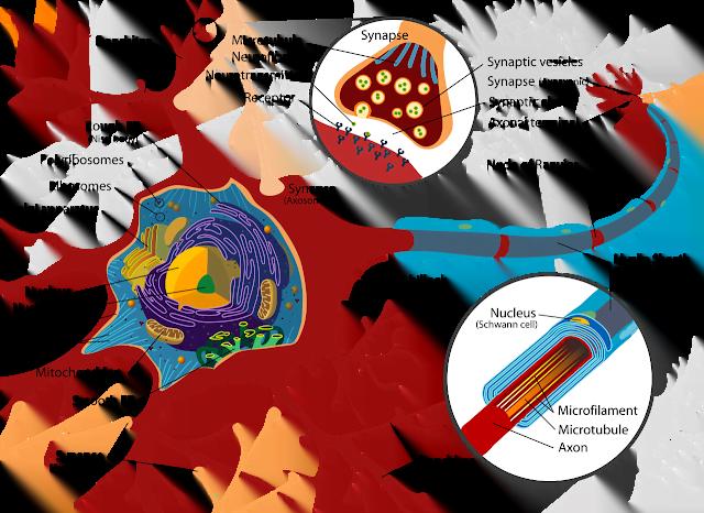 Neuron Structure Labeled Diagram
