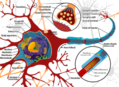 Neural tissue- Structure and Function