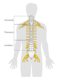 Spinal cord, Spinal cord structure