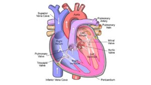 Human Heart Structure, Function, Chambers, & Double Circulation