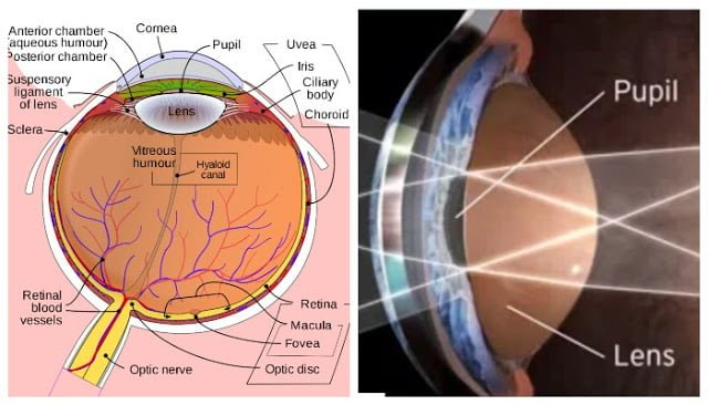 Human eye, Parts of the Eye, Mechanism of vision