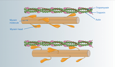 Mechanism of muscle contraction, Muscle, Muscle contraction