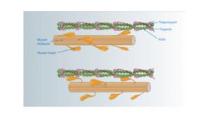 The Mechanism of Muscle Contraction, Sliding Filament Theory