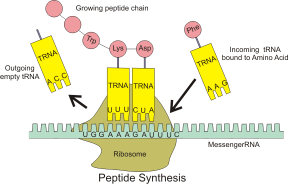 Protein synthesis, Translation steps and process