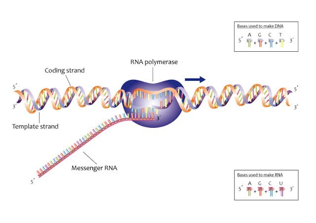Process of transcription, Transcription