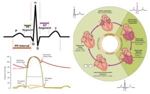 Cardiac Cycle, Phases of Cardiac Cycle, & ECG