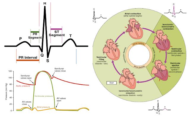 Cardiac cycle & ECG