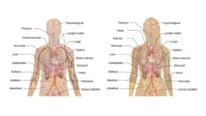 Organ System of Human Body – A Quick Overview